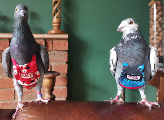 MEGGY JOHNSON'S SPOILED PET PIGEONS SKY AND MOOSE