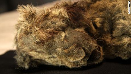 Perfectly preserved cave lion cub found frozen in Siberia is 28,000 years old. Even its whiskers are intact.