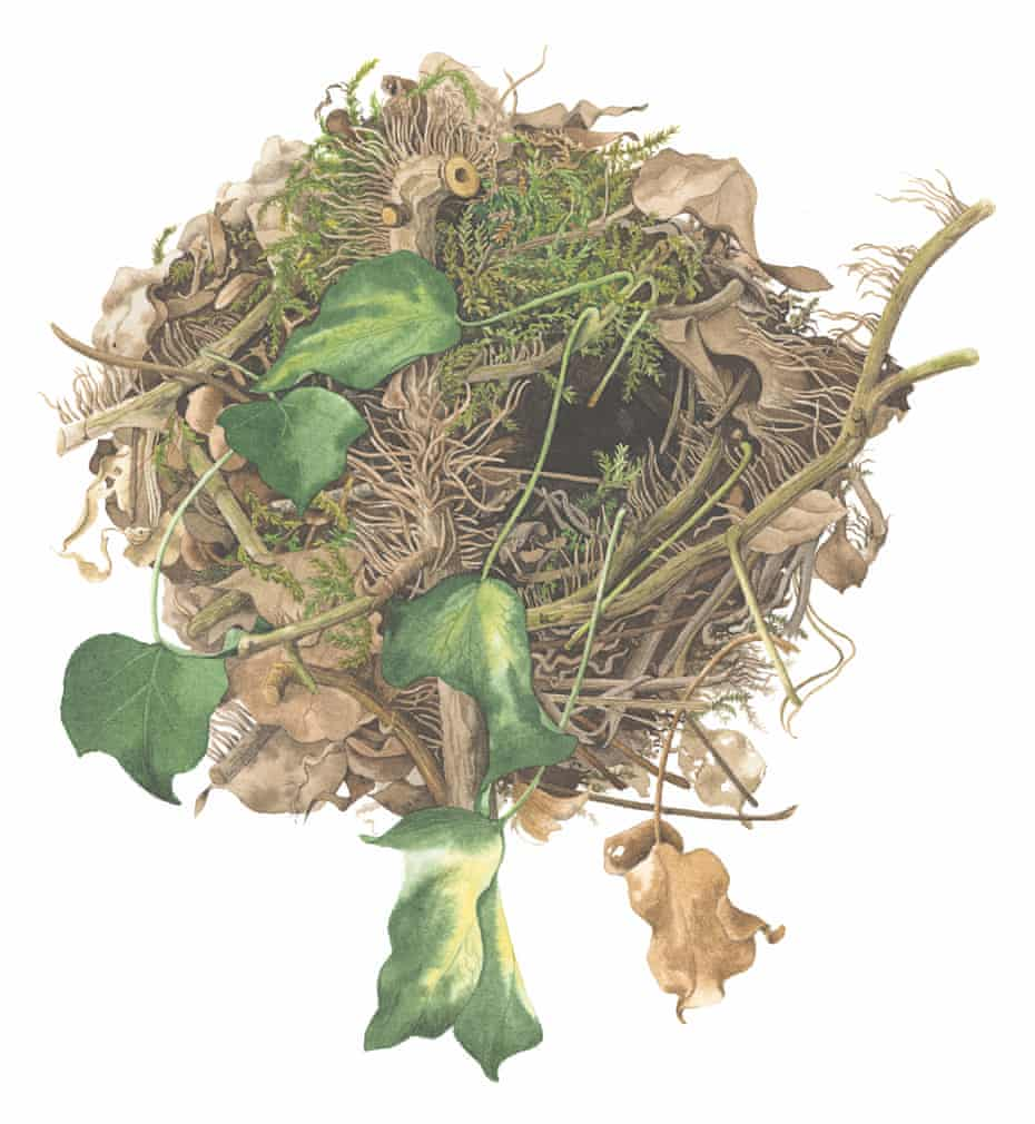 A wren's nest illustrated by Susan Ogilvy