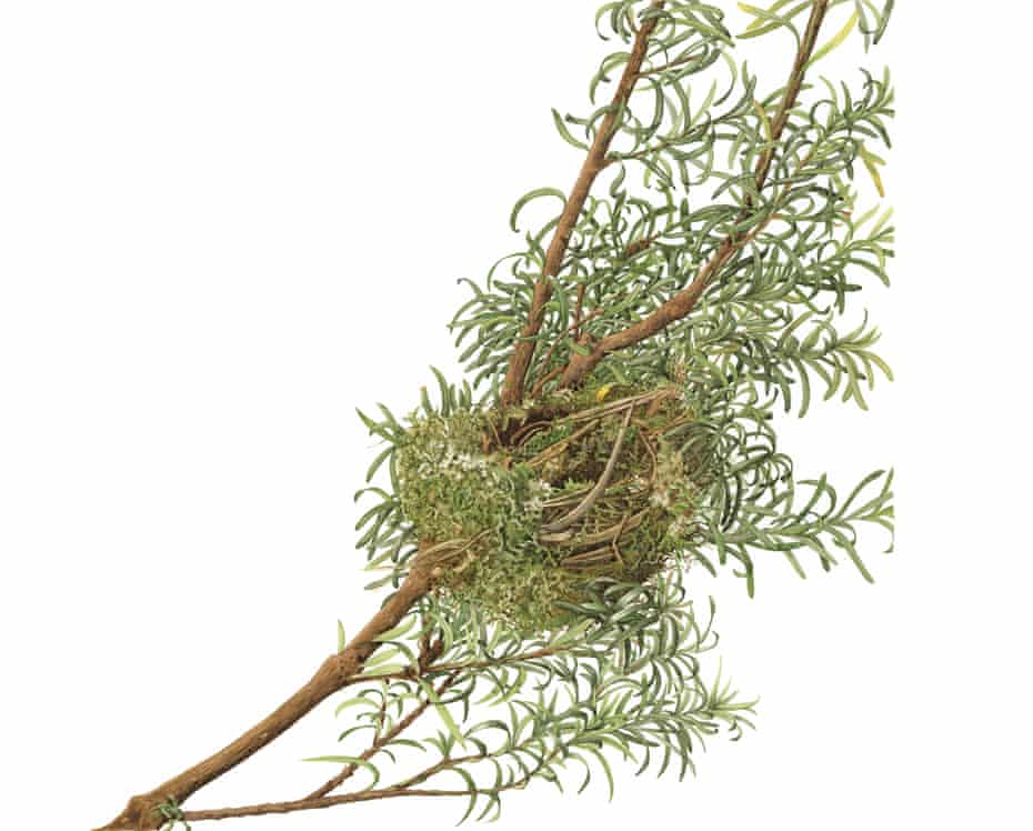 A chaffinch nest illustrated by Susan Ogilvy