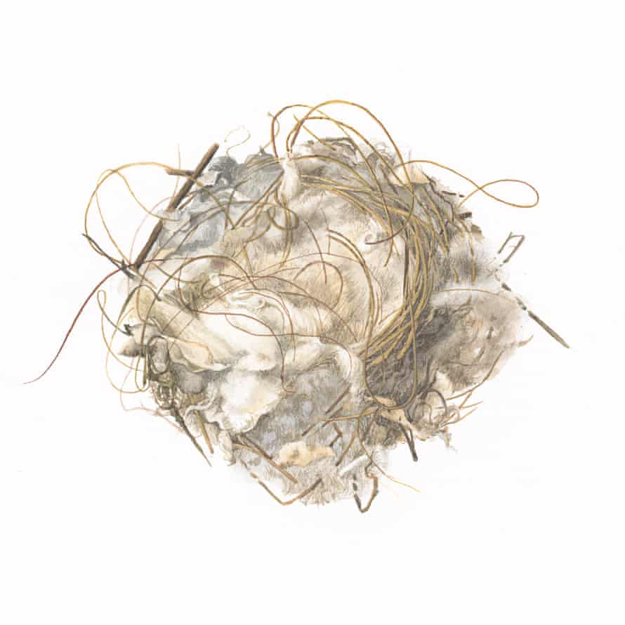 A goldfinch nest illustrated by Susan Ogilvy