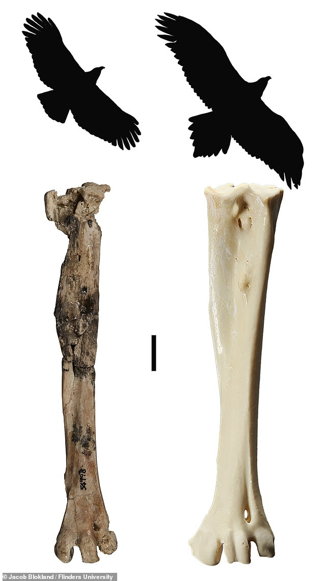 'This species was slightly smaller and leaner than the wedge-tailed eagle [Australia's biggest eagle alive today], but it¿s the largest eagle known from this time period in Australia,' said paper author and palaeontologist Ellen Mather of Flinders University. Pictured: the foot bone (tarsometatarsus) and silhouette ofArchaehierax (left) and the wedge-tailed eagle (right)