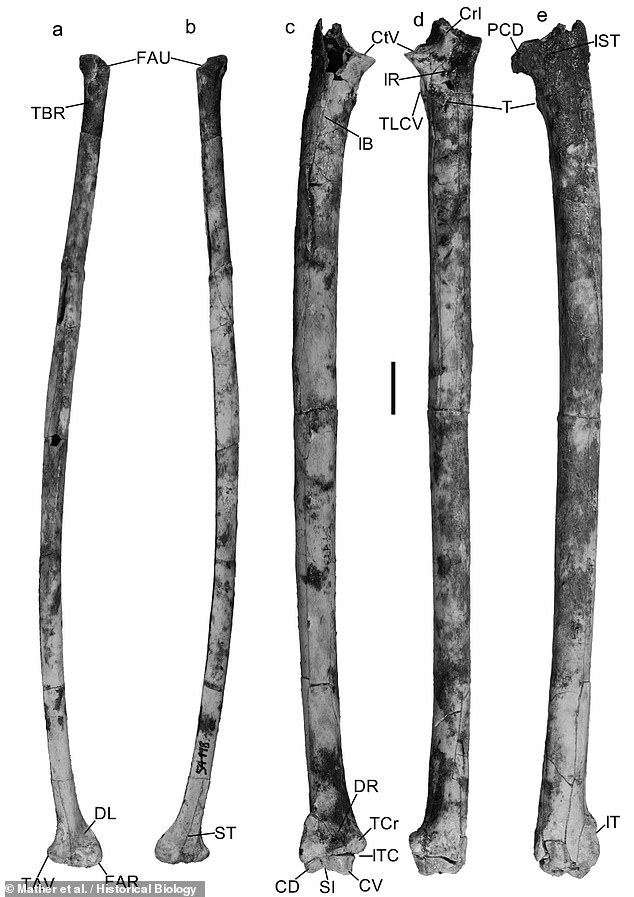 'The fossil bones reveal that the wings of Archaehierax were short for its size, much like species of forest-dwelling eagles today,' said paper author and palaeontologist Ellen Mather of Adelaide's Flinders University. Pictured:Archaehierax sylvestris' radius (left) and ulna (right)