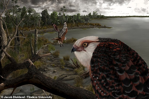 An eagle (depicted above) with a six-inch foot-span that ambushed unsuspecting prey like flamingos and koalas ruled the food chain of South Australia 25 million years ago