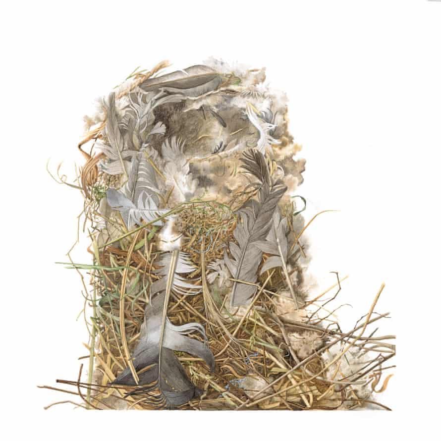 A housesparrow's nest illustrated by Susan Ogilvy
