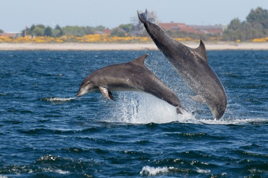 Two bottlenose dolphins (Tursiops truncatus) breaching off Chanonry Point in the Moray Firth, Scotland. The sea is blue and the yellow gorse is in background.