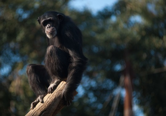 A chimpanzee is seen on a branch in its enclosure at Fuengirola Bioparc, near Malaga. (Getty)
