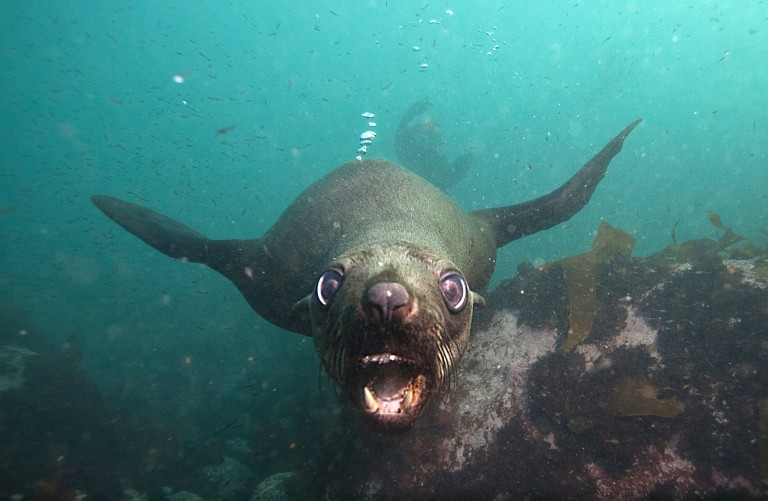 A seal playing in a seaside suburb of Cape Town, with bubbles rising from its behind.