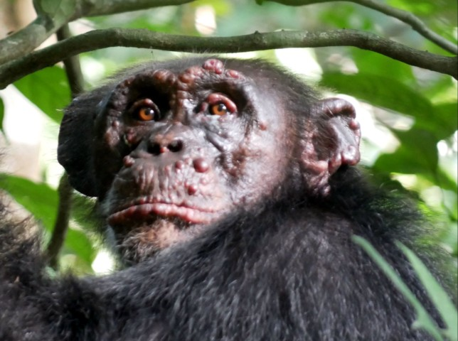 A chimpanzee named Woodstock with leprosy in Ivory Coast. (Credits: PA)