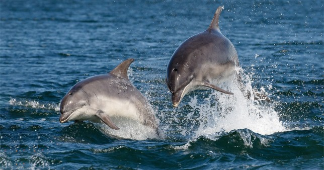 Bottlenose dolphins (Tursiops truncatus) breaching in blue water off the Scottish coast