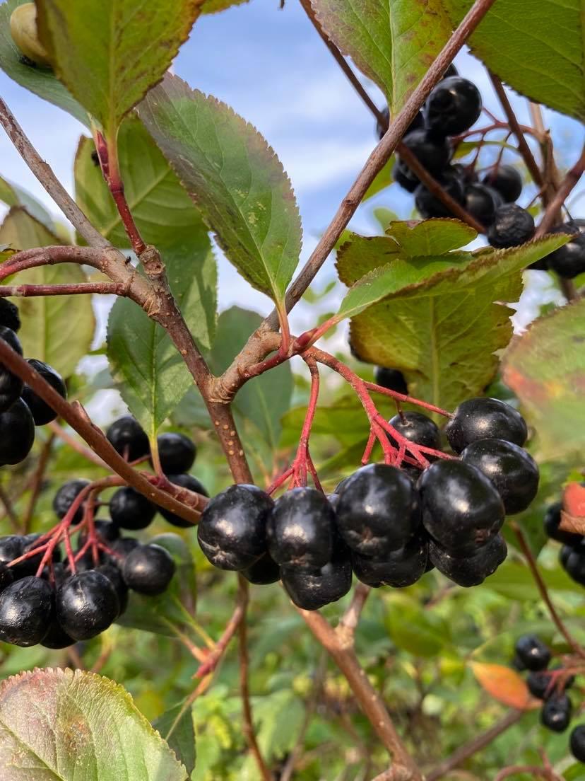 Aronia bær