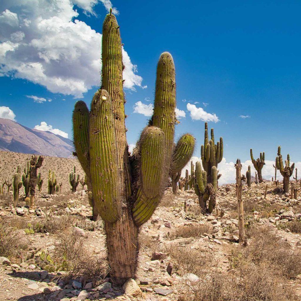 cactus-couleur