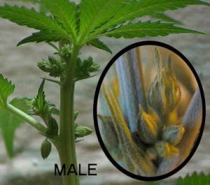 Flowering male weed plant