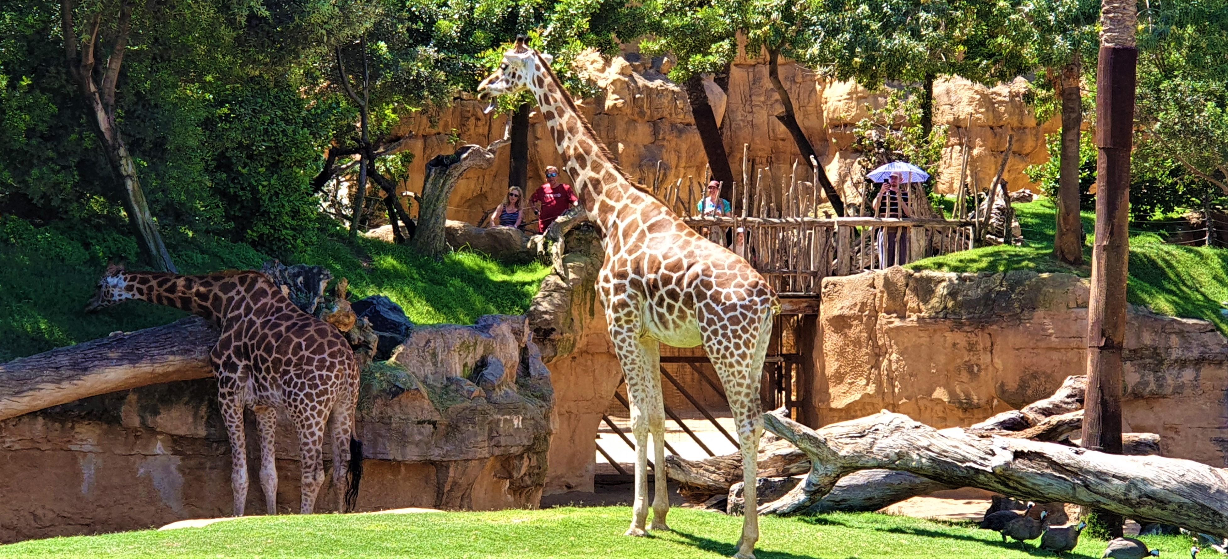 2 giraffes at Bioparc Valencia