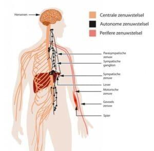 Overzicht zenuwstelsel