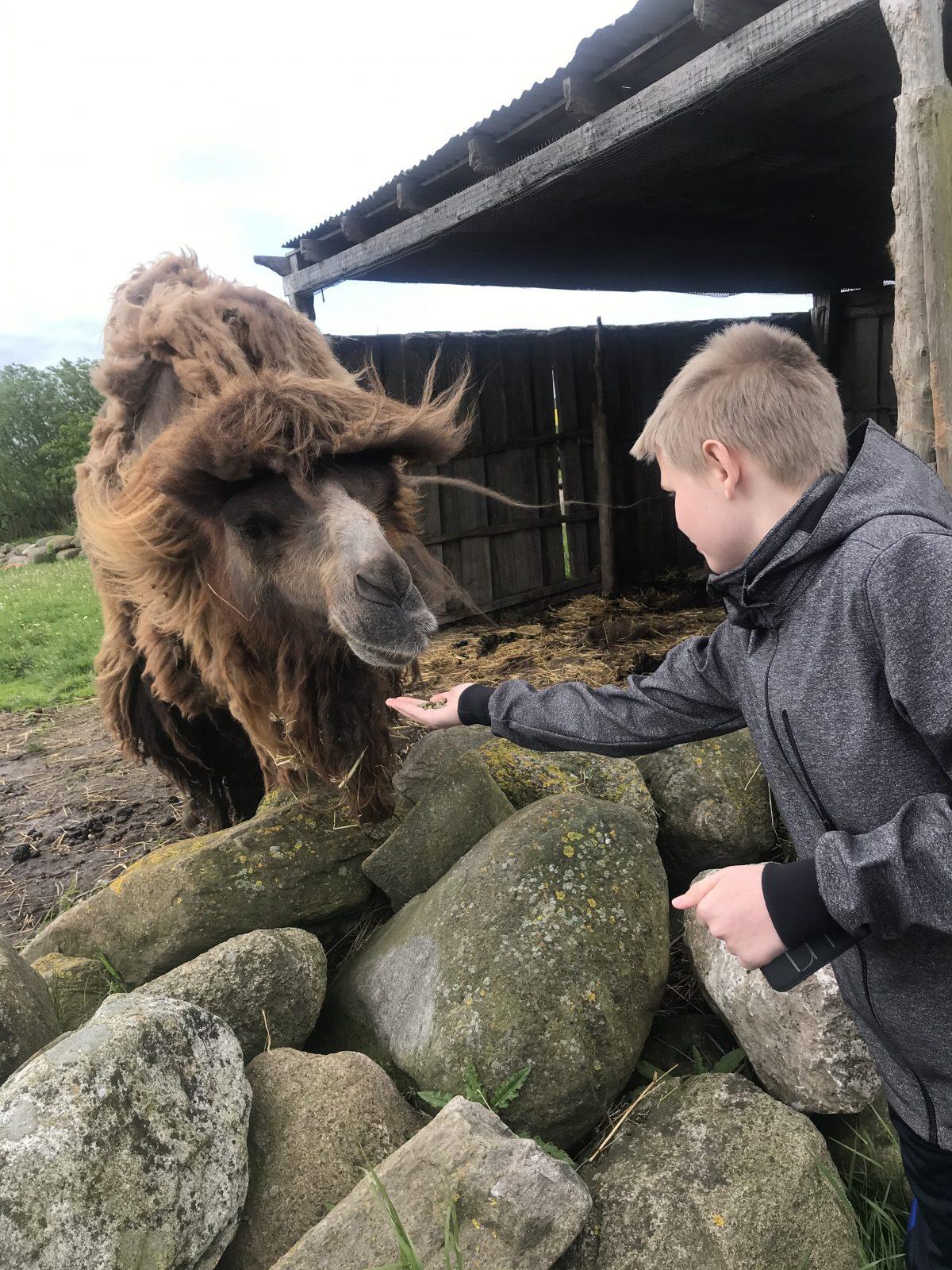 Boy feeding camel