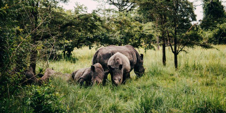 Nashorn Tracking in Uganda