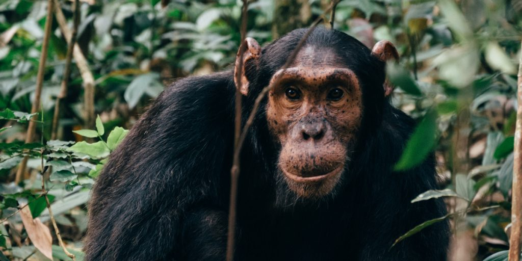 Schimpansen-Tracking in Uganda