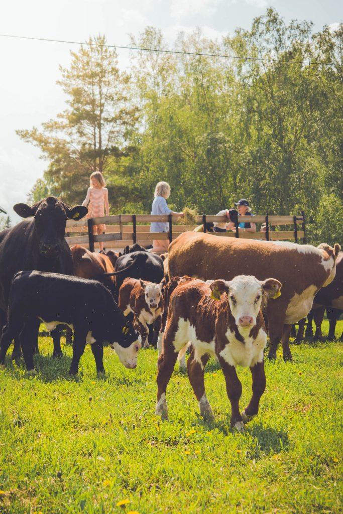 Sitt inne i kohagen får vi stå på vagnen och mata kossorna