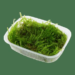 Tropica Taxiphyllum 'Spiky'