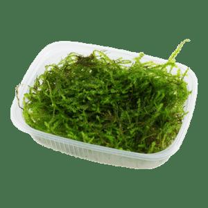 Tropica Taxiphyllum barbieri