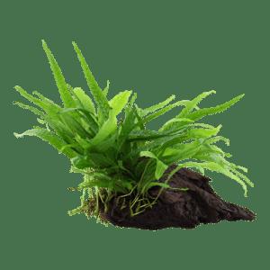 Kasvit juurakoissa