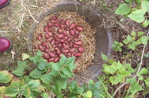 Kartoffeln einlagern