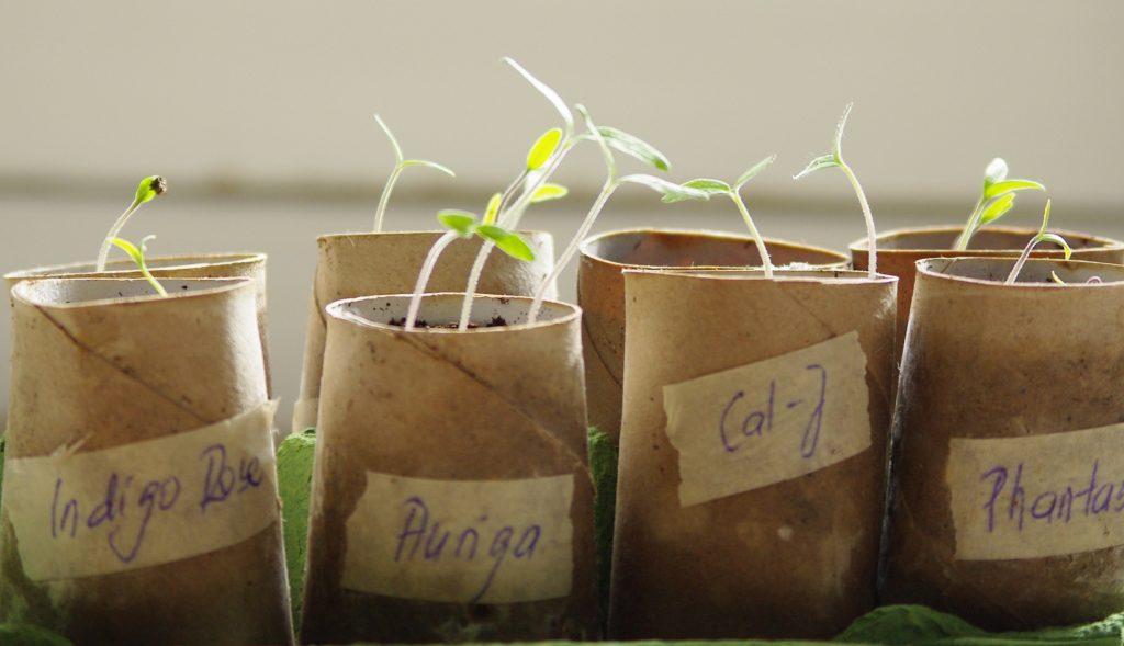 Unsere Tomatenkeimlinge für die Mischkultur