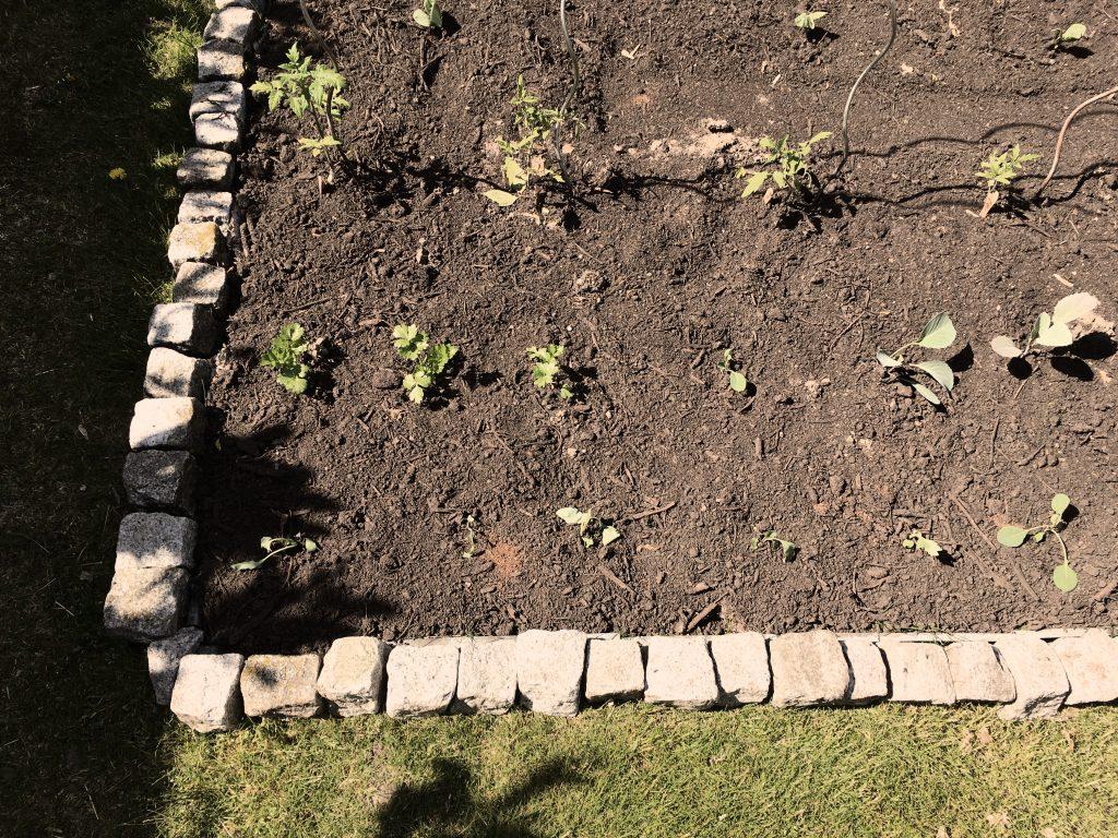 Beet auf Rasen, kleine Pflänzchen, Beet umrandet mit Steinen
