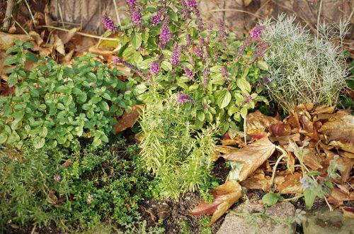 Kräuter im Garten, dazwischen Laub