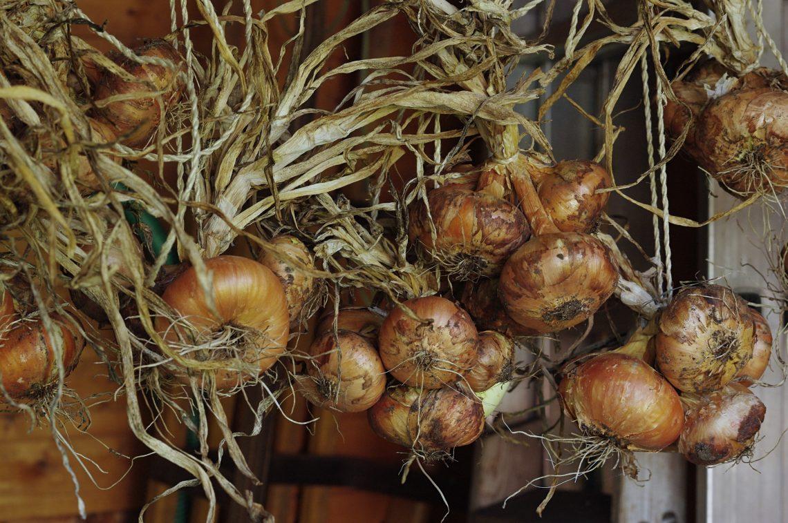 Getrocknete Zwiebeln zusammengebunden und aufgehängt