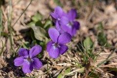 Evalill_2740_blommor