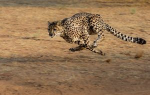 Top 10 Fastest Land Animals In the World