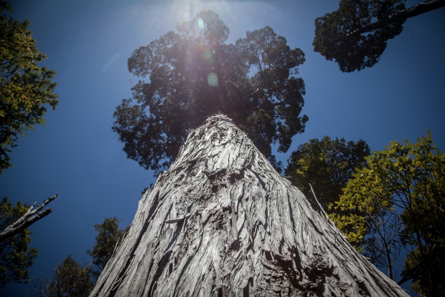 oldest tree outside north america