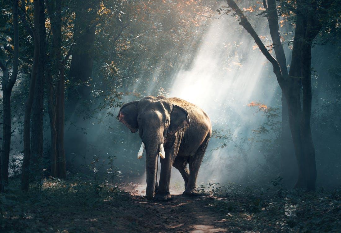 indian elephant - top 10 tallest animals