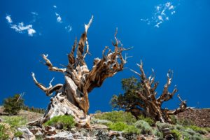 Top 10 Oldest Living Trees in the World