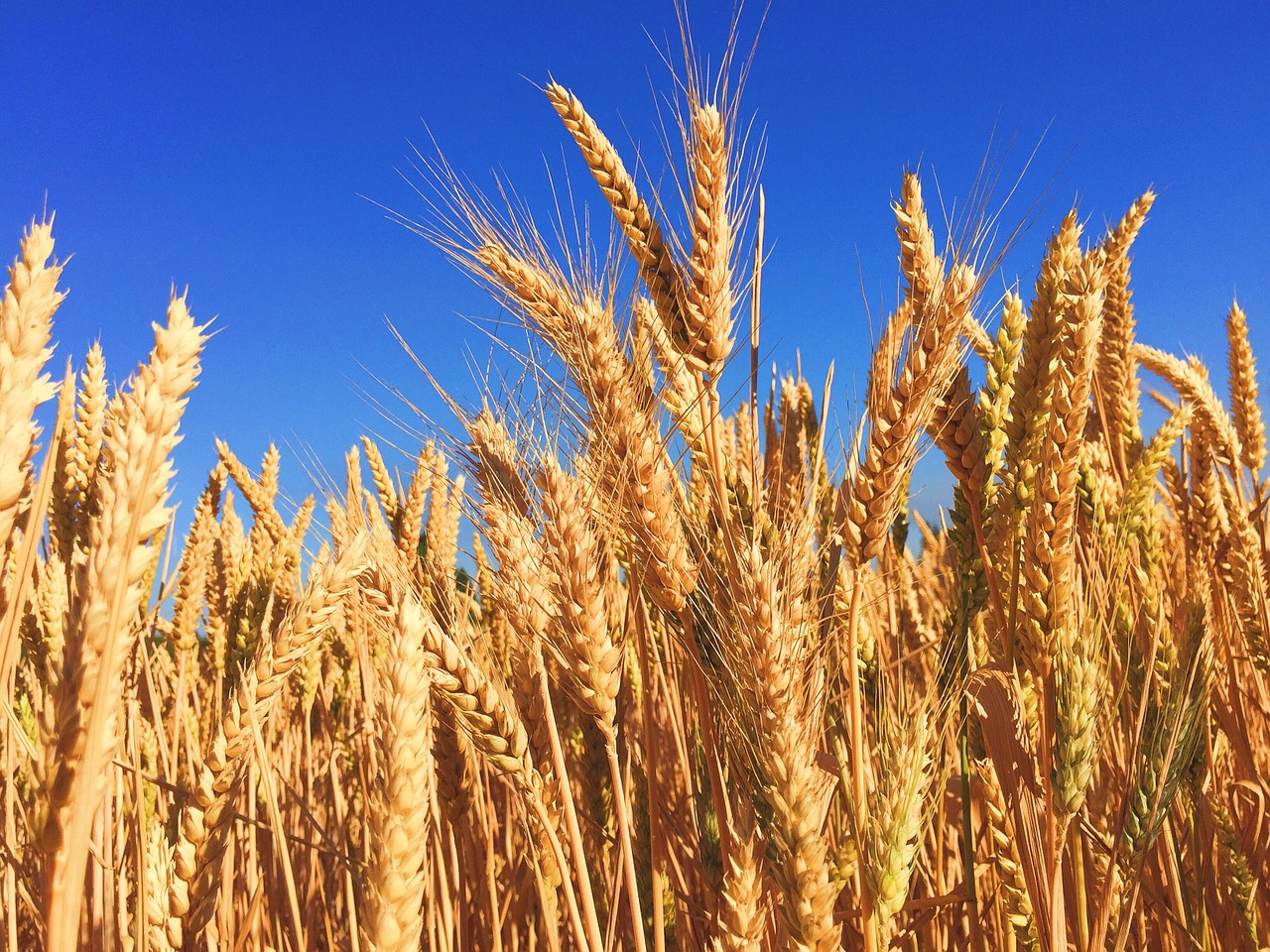 wheat - most popular foods in the world