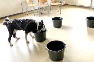 hund søker etter noseworkduft i fem bøtter