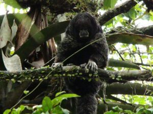 Wooler monkey in Cuyabeno Amazon Reserve