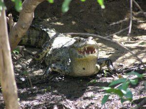 Caiman in Madidi Amazon Rainforest Reserve Bolivia