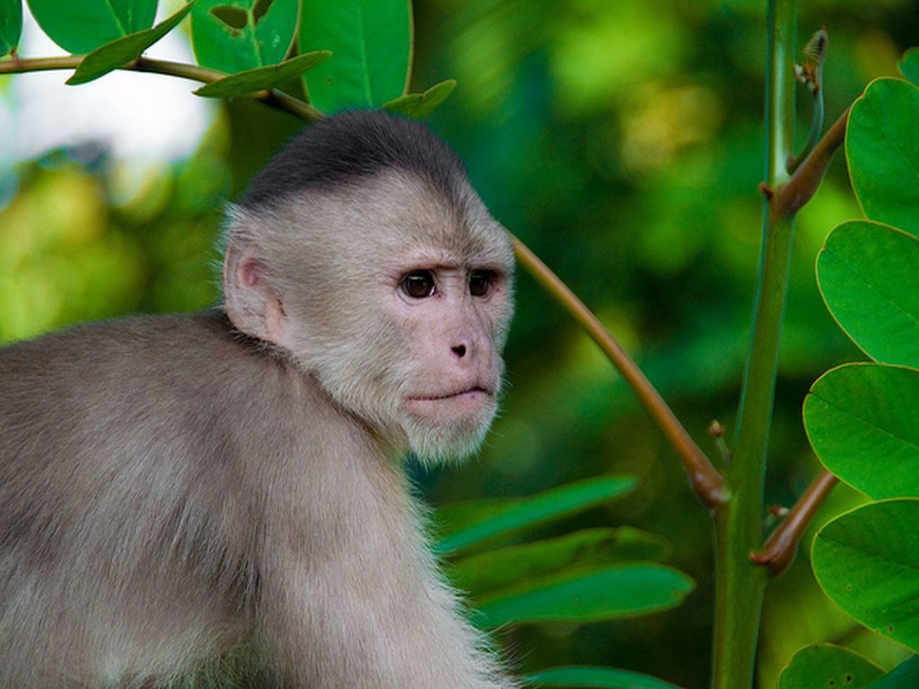 Capuchin monkey in Amazon tour in Bolivia
