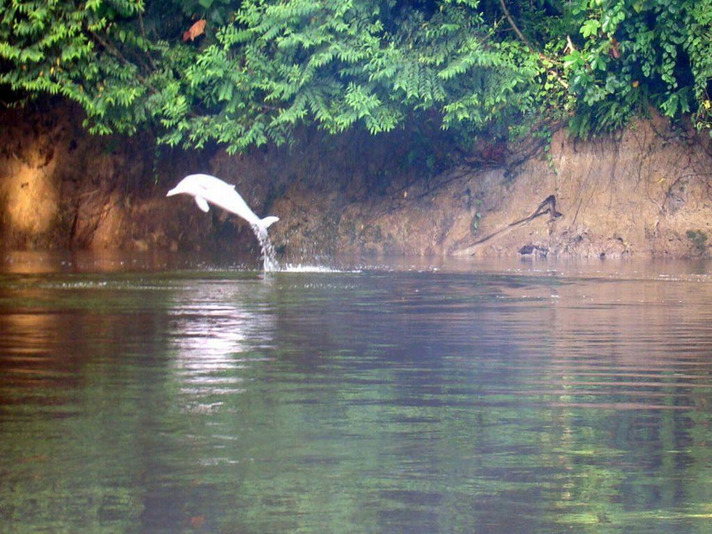 Pink fresh water dolphin Cuyabeno Amazon Reserve Ecuador