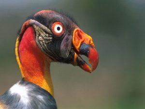 King Fulture Manu Amazon Pantiacolla tour