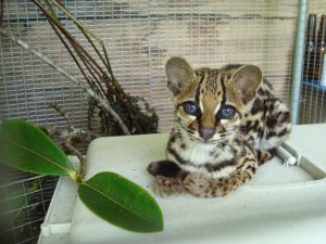 Margay at Merazonia animal Refuge volunteer work Ecuador