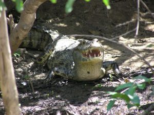 Caiman during Bolivian Pampas Amazon tour