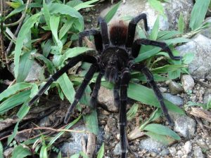 Tarantula in Ecuadorian Amazon Rainforest no need for vaccination