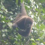 Wooler monkey during Cuyabenoa Amazon tour in Ecuador