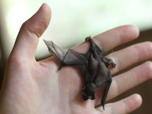Baby bat and rabies vaccinations in Peruvian Amazon Rainforest