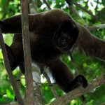 Wooler monkey in Manu Amazon Reserve Peru