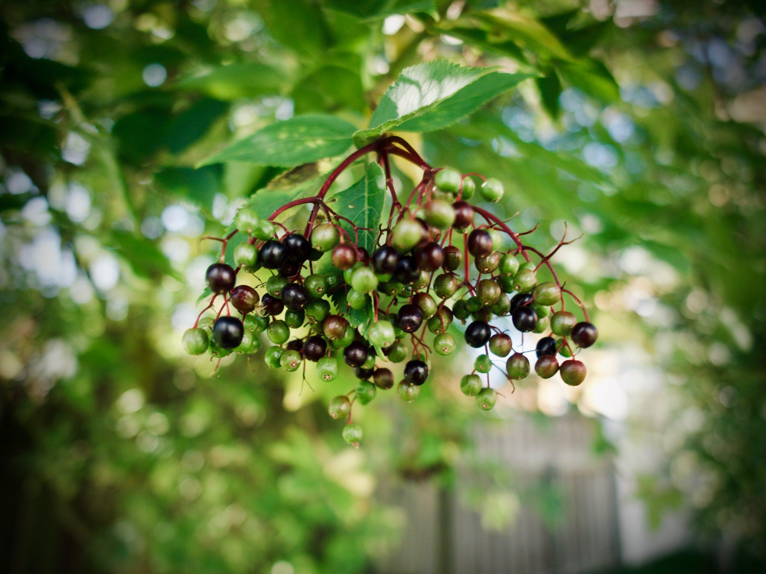 Hyldebær